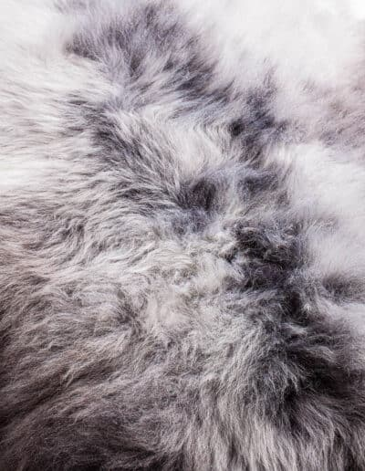 Wollschaf-151-0721